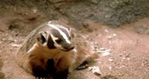 To know more about Badgers