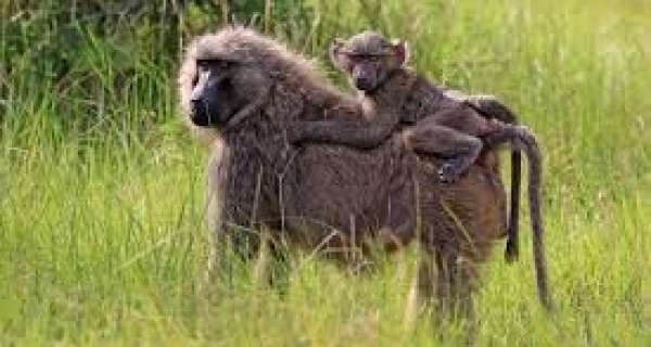 What are baboon?