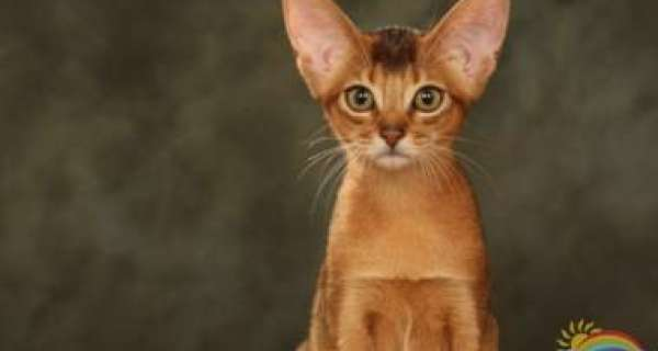 Is it true that Abyssinian Cats are one of the oldest breeds of domestic Cat in the world?