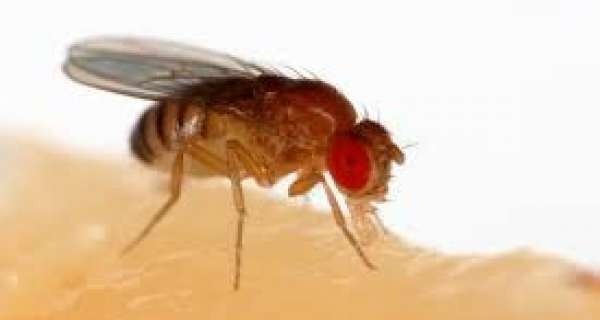 Why is the fruit fly so useful to science?