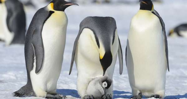 Is it true that the Adelie Penguin are the smallest and most widely distributed species of Penguin?