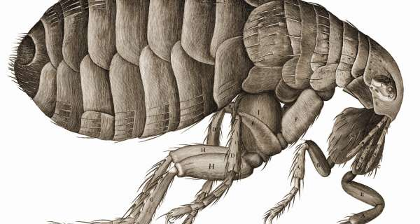 Why do fleas live on dogs and cats?