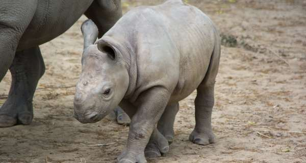 Is it true that the black rhinoceros are critically endangered animal?